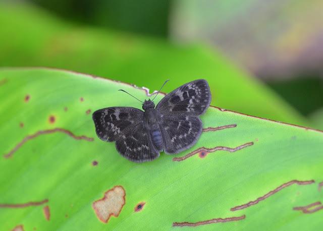 Hesperiidae : Ouleus fridericus fridericus GEYER, 1832. Camp Patawa, Montagne de Kaw (Guyane). 15 novembre 2011. Photo : M. Belloin