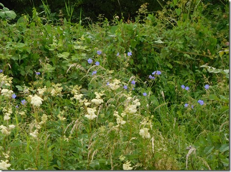 13 meadowsweet and geranium past ansty