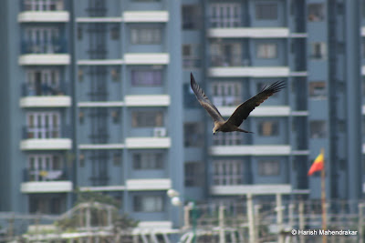 10-Sep-2011 Black Kite Pic: Harish Mahendrakar