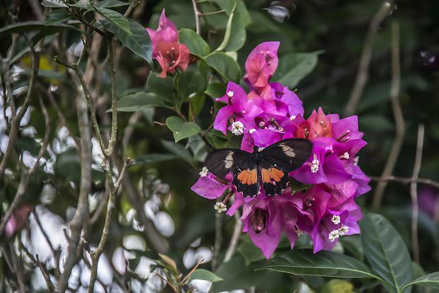 Parides eurimedes arriphus (Boisduval, 1836), femelle. Fundo Palmarito, 265 m (Casanare, Colombie), 8 novembre 2015. Photo : B. Lalanne-Cassou