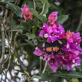 Parides eurimedes arriphus (Boisduval, 1836), ♀. Fundo Palmarito, 265 m (Casanare, Colombie), 8 novembre 2015. Photo : B. Lalanne-Cassou