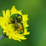Couple de Chrysomelidae : Gastrophysa viridula (DE GEER, 1775). Les Hautes-Lisières (Rouvres, 28), 10 juin 2013. Photo : J.-M. Gayman