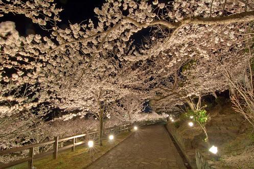 神戸 須磨浦公園の夜桜ライトアップ