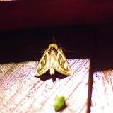 Notodontidae : Lepasta grammodes Felder, 1874. Valle de las Minas, Hornito, cordillère de Talamanca, 1100 m (Chiriquí, Panamá), 27 octobre 2014. Photo : J.-M. Gayman