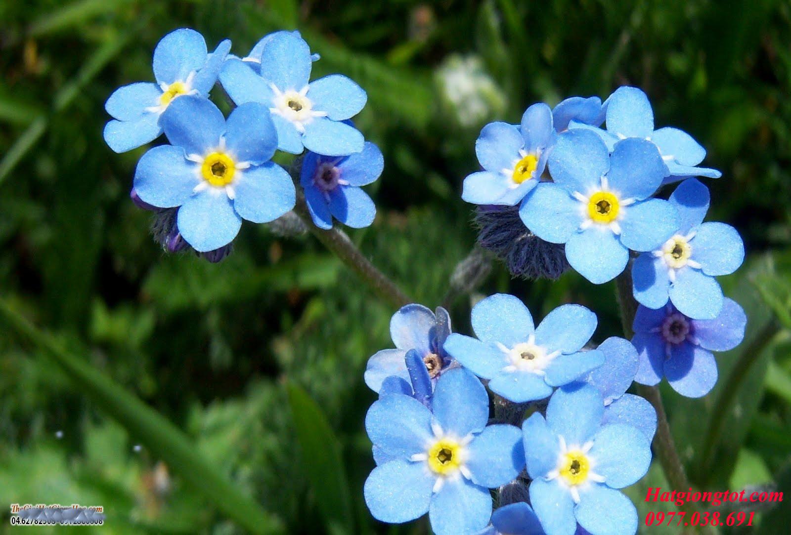 Hoa lưu ly xanh đẹp