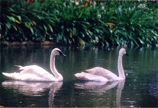 swans at Jurong Bird Park in Singapore