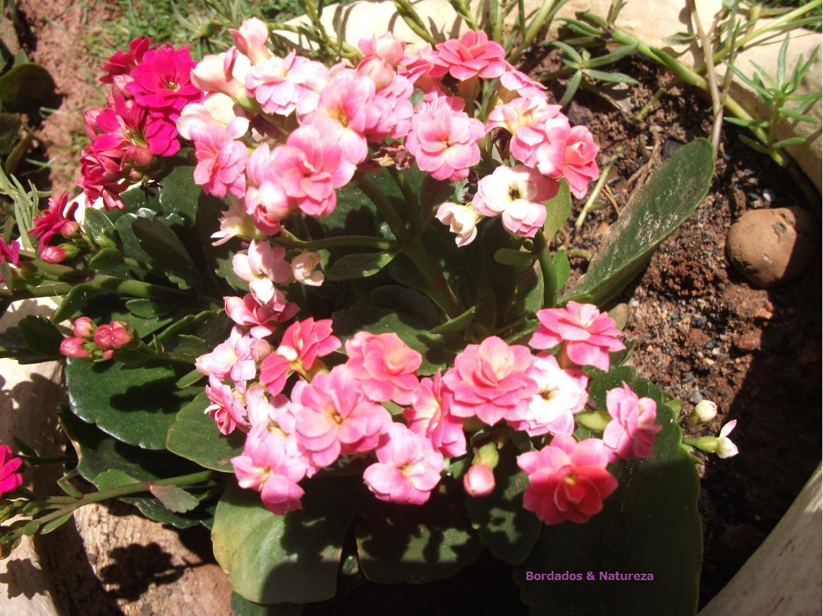 flores perenes para o seu jardim ~ rosas do meu jardim para face