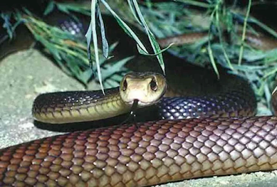 ब्लू करैत (Blue Krait) 10th Most Poisonous Snake in world