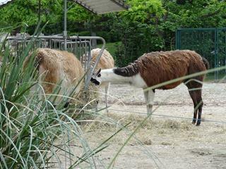 2016.05.24-041 lamas