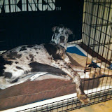 Dynamite Danes Family Album #3 - sleepy.JPG