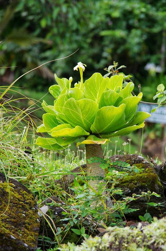 06-26-13 National Tropical Botantial Gardens - IMGP9447.JPG