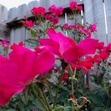 Gardening 2011 - 100_8243.JPG
