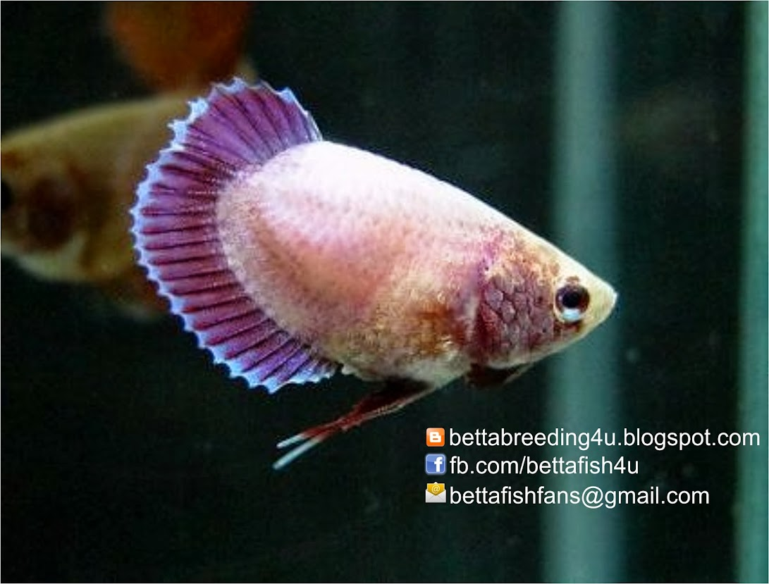 Betta fish form: female betta fish mutation