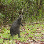 Scottish Rock - Wallaby