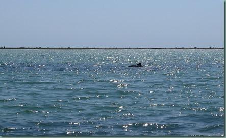 dolphin at Anclote Key