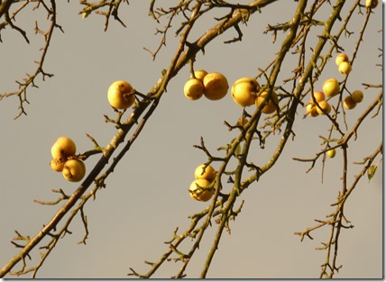 golden crab apples