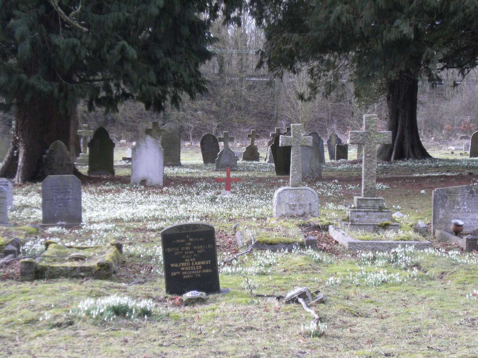 1002110035 Snowdrops in Whitchurch Cemetery