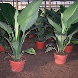 Cultivo de plantas de interior. - 100_0867.JPG
