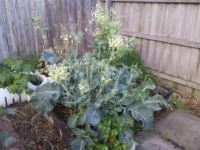 these brocoli are now in flower