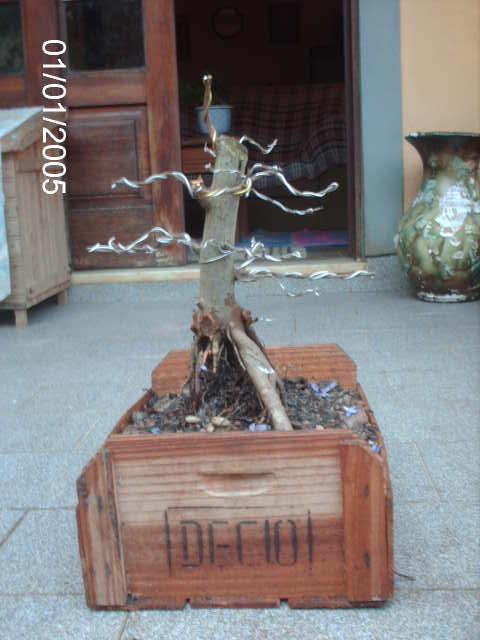 Ficus Microcarpa var. Indica... PICT1622