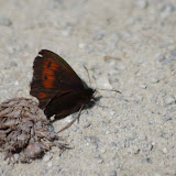 Erebia ligea (L., 1758), mâle. Grip de l'Aivla, Silvaplana, 2000 m (Engadine, Grisons, CH), 13 juillet 2013. Photo : J.-M. Gayman