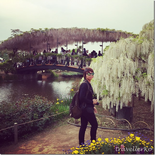 在最美的季節遇見足利紫籐花卉公園:門票交通攻略實況(下)11