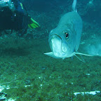 Tarpon (Blue hole)