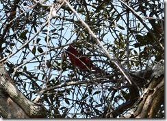 Cardinal Hiding