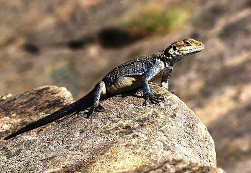 A lizard bathes in the afternoon sun on a rock in Uttarakhand, northern India. Photo: Sujayadhar / Wikimedia Commons