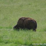 05-11-12 Wildlife Prairie State Park IL - IMGP1587.JPG