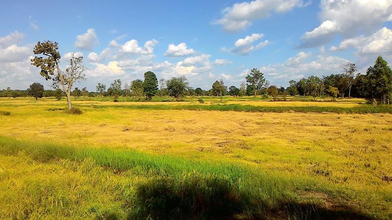 นาข้าวหอมมะลิ ทุ่งรวงทองของไทย วันนี้ยังคงเหลืองงามตระการตา