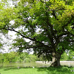 Chêne de Montorgueil (550 ans environ)