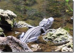 Baby gator-2