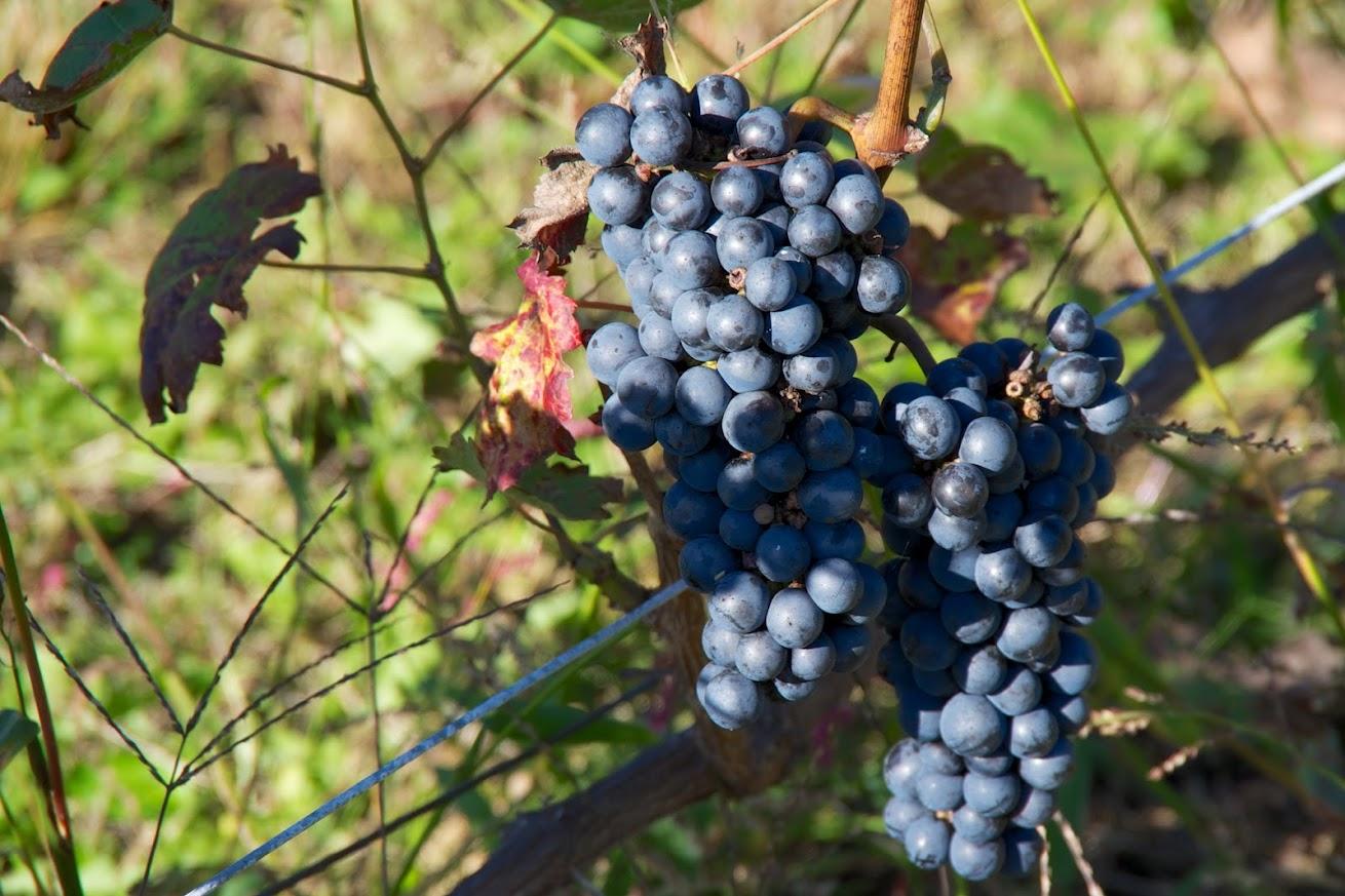 これから収穫を迎えるブドウ