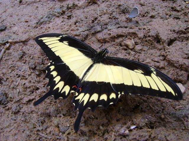 Heraclides astyalus astyalus (GODART, 1819) (= Papilio lycophron lycophron HÜBNER, 1818), mâle. Pitangui (MG, Brésil), 27 février 2010. Photo : Nicodemos Rosa
