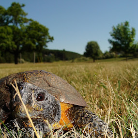 Rocky The Wood Turtle by Caitlin Scroggins - Animals Reptiles (  turtle, wood turtle,  animal )
