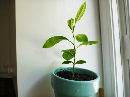 Mách bạn cách trồng chanh tại gia dễ như trở bàn tay - 14