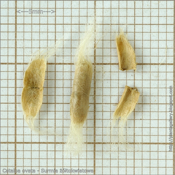 Catalpa ovata seeds - Surmia żółtokwiatowa nasiona