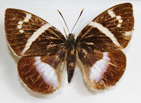 CASTHA ATYMNIUS DELASEIATA (2).JPG