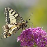 Papilio machaon L., 1758. Lagarde d'Apt, 1200 m (Vaucluse), 28 juin 2015. Photo : J.-M. Gayman