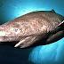 Ikan hiu yang mempunyai umur panjang, hiu greenland