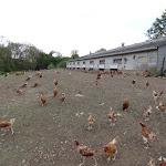 Bergerie nationale : élevage de poulets