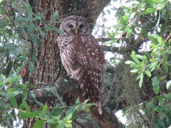 7 Barred Owl Strix varia (1)