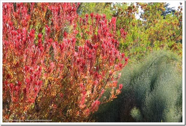 160813_UCSC_Arboretum_Leucadendron-Safari-Sunshine_004