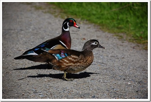 wood duck MF 2