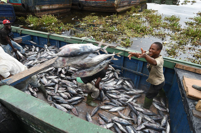 Fishermen offloading tunas at the industrial fish port of Abidjan, Côte d'Ivoire. Photo: Sia Kambou / FAO