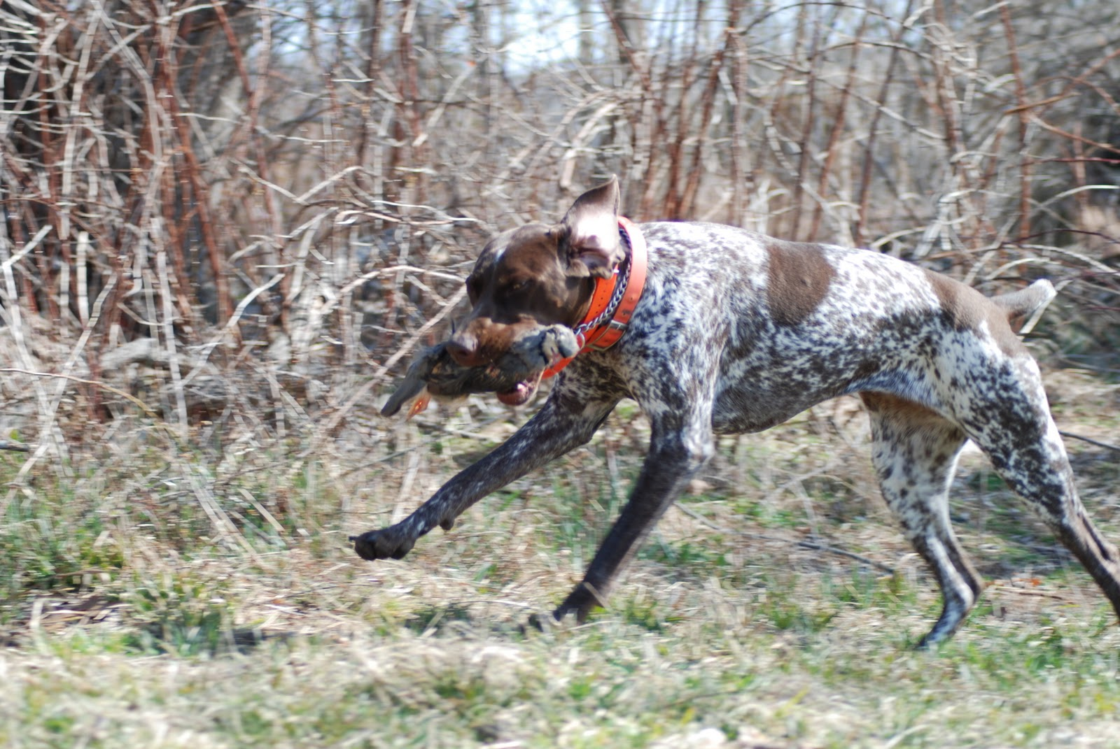 Force Training Retrieving Dogs