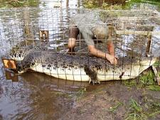 crocodile_harvesting_13L.jpg