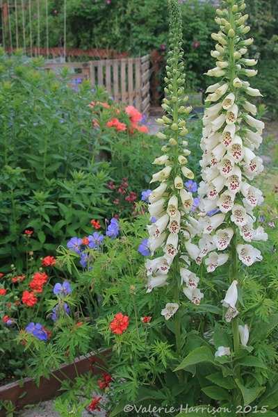 foxgloves-2