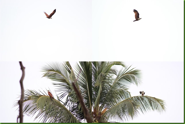 brahminy kite collage